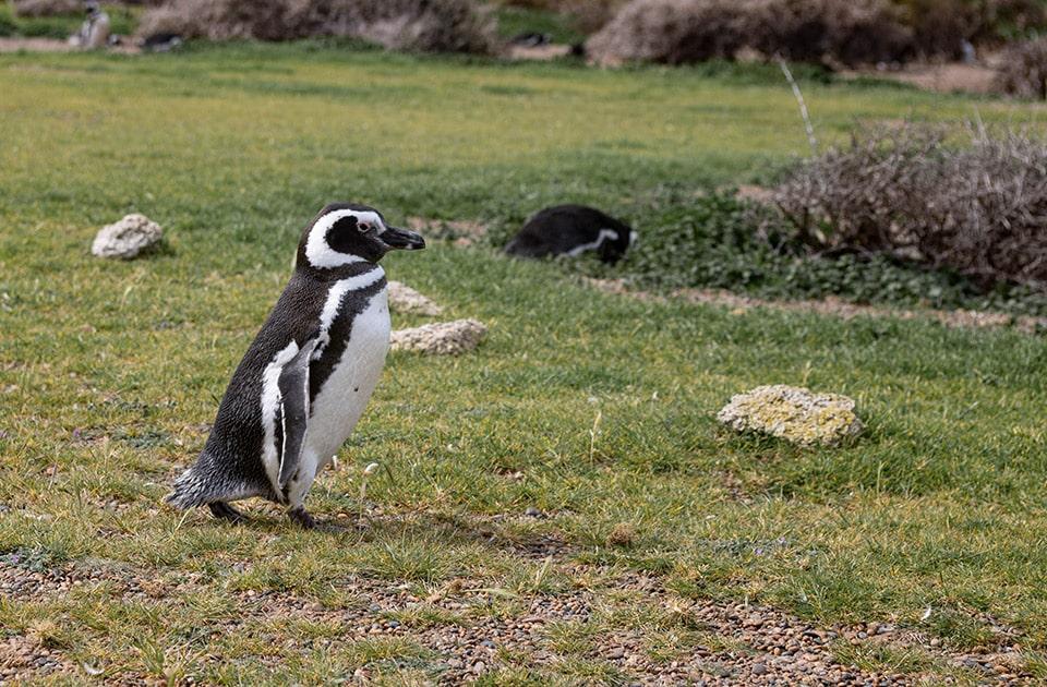 Penguins in Peninsula Valdes