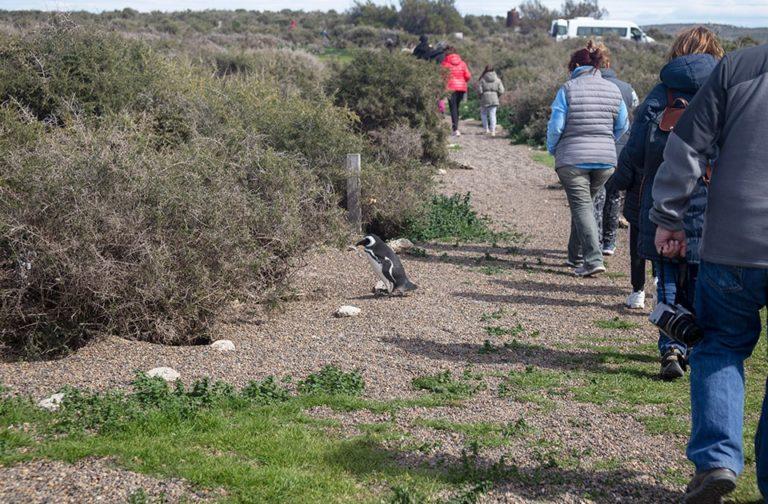 excursions-peninsula-valdes-puerto-madryn-magellanic-penguin-01-min