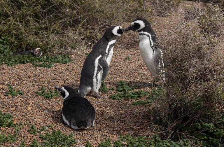 excursions-peninsula-valdes-puerto-madryn-magellanic-penguin-02-min